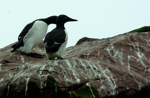 Kiviak auk birds