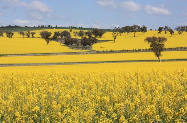 canola crops