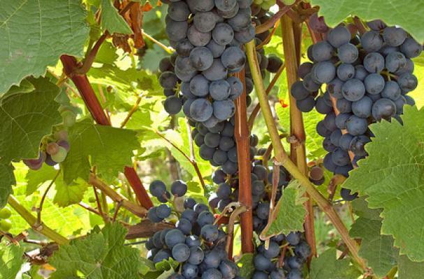 dornfelder german red wine