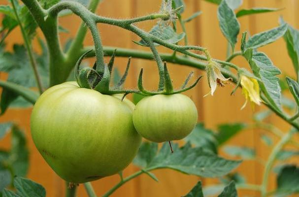 Green tomatoes, photo by Flickr user cheryl.reed
