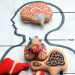 Anatomical Macarons and Cookies